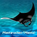 Manta Rochen